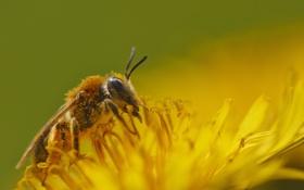 Картинка цветок, желтый, нектар, пчела, пыльца