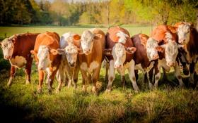 Обои коровы, стадо, пасдбище