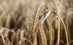 Картинка пшеница, поле, рожь, урожай, колоски, сухие, злаки
