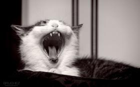 Обои язык, кошка, кот, котенок, мордочка, пасть, клыки