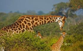 Обои семья, жираф, Африка