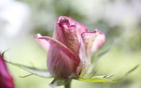 Обои цветок, макро, роза, лепестки, бутон
