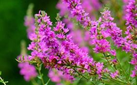 Обои цветы, ветки, розовые, цветение, кустарник