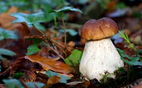 Обои осень, природа, листва, гриб, боровик