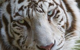 Картинка кошка, морда, голубые глаза, белый тигр, ©Tambako The Jaguar