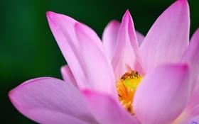 Картинка цветок, макро, пчела, розовый, лотос, кувшинка, водяная лилия