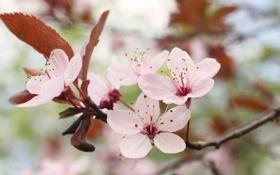 Картинка розовые, вишня, цветение, веточка, ветка, макро, цветы