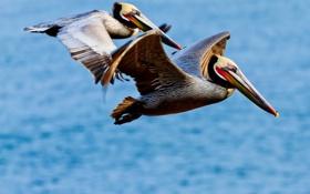 Обои полет, птица, крылья, клюв, пеликан