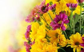 Картинка цветы, фото, хризантемы, много