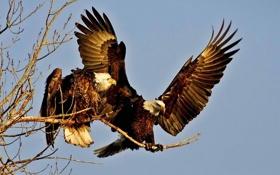 Картинка орел, орлан, небо, птица, крылья, ветка, пара