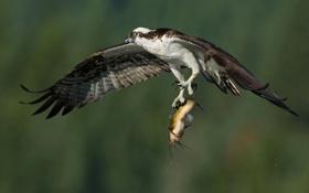 Обои птица, крылья, рыба, полёт, добыча, улов, скопа