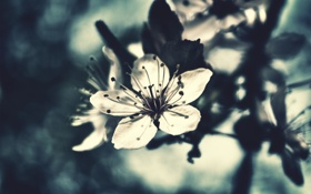 Обои вишня, лето, цветение, лепестки, цветок, бутон, макро
