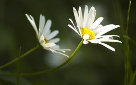 Обои лето, цветы, природа, фон, черный, две, ромашки