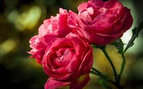 Обои розы, три, розовые, бутоны, боке