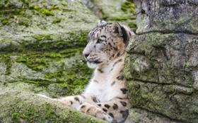Обои камни, дикая кошка, скалы, ирбис, зоопарк, снежный леопард, мох