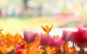 Обои цветы, природа, тюльпаны