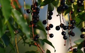 Обои листья, ветки, ягоды, грозди