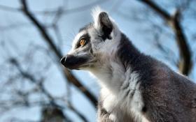 Картинка природа, боке, lemur