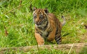 Картинка кошка, трава, тигр, бревно, детёныш, котёнок, суматранский