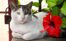 Картинка кошка, цветок, кот, красный, котэ, лежа, гибискус