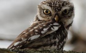 Картинка глаза, взгляд, сова, птица, оперение