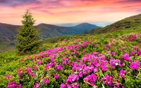 Обои небо, трава, закат, цветы, горы, ель, landscape