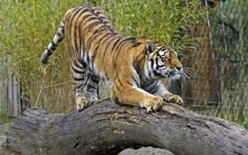 Картинка кошка, тигр, бревно, амурский