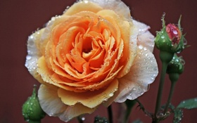 Обои капли, бутоны, роза, макро, роса