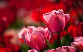 Обои макро, бутон, тюльпаны