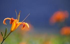 Картинка цветок, оранжевый, фон, лилия