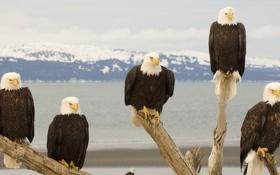 Картинка Птицы, орлы, белоголовый орлан