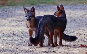 Обои животные, лисы, взгляд. природа
