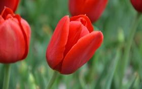 Обои красный, размытость, тюльпаны, зелёный