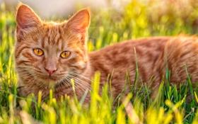 Картинка кошка, трава, кот, рыжий, котэ