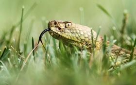 Картинка язык, трава, природа, змея, голова