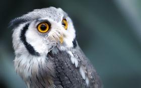 Картинка сова, птица, глаза, клюв, перья