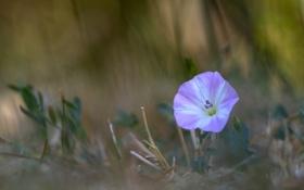 Обои цветок, листья, фон, размытость, вьюнок