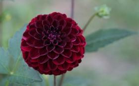 Картинка цветок, бордовый, георгин
