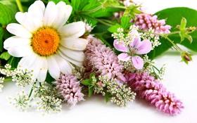 Картинка ромашка, листики, полевые цветы