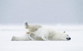 Картинка снег, медведь, Норвегия, белый мишка