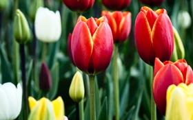 Картинка яркие, тюльпаны, бутоны