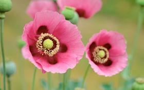 Обои цветы, маки, розовые