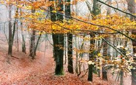 Обои лес, природа, осень, туман