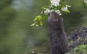 Обои вода, ветка, цветение, цветки, водяная крыса, боярышник, водяная полевка