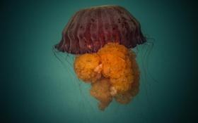 Картинка океан, подводный мир, Peru, Lima, мидуза, Jelly Fish, Callao