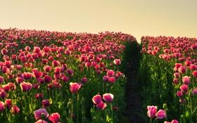 Картинка поле, лето, цветы, обои, маки, дорожка, тропинка