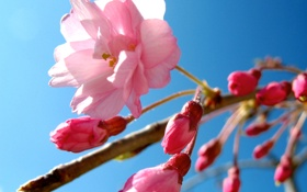 Картинка цветок, небо, розовый, весна, сакура