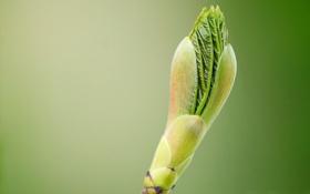 Картинка лист, ветка, весна, почка