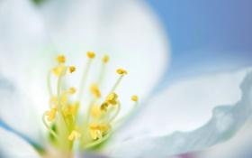 Обои весна, Цветок, голубой, белый, фон, макро, нежность