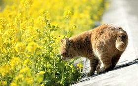 Обои дорога, кошка, кот, цветы, природа, желтые, рыжий